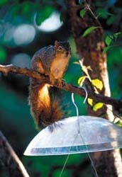 Baffled Squirrel